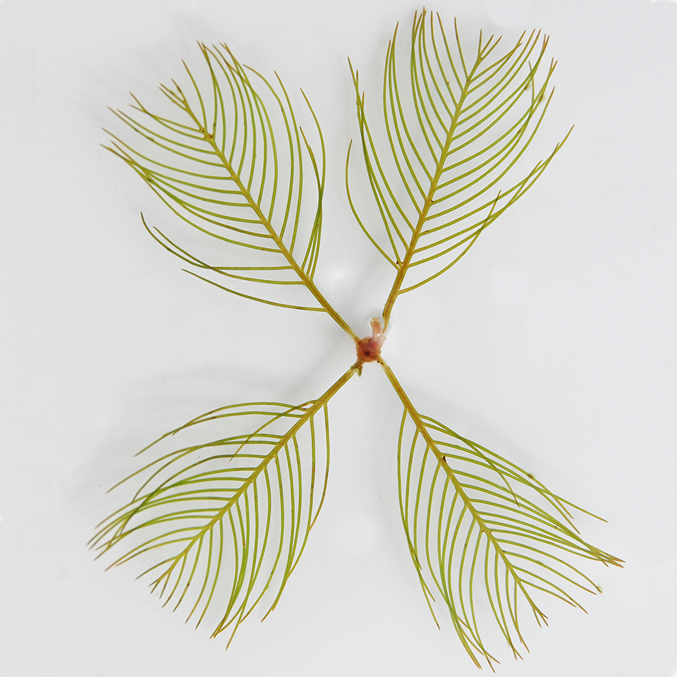 eurasian watermilfoil with four branches